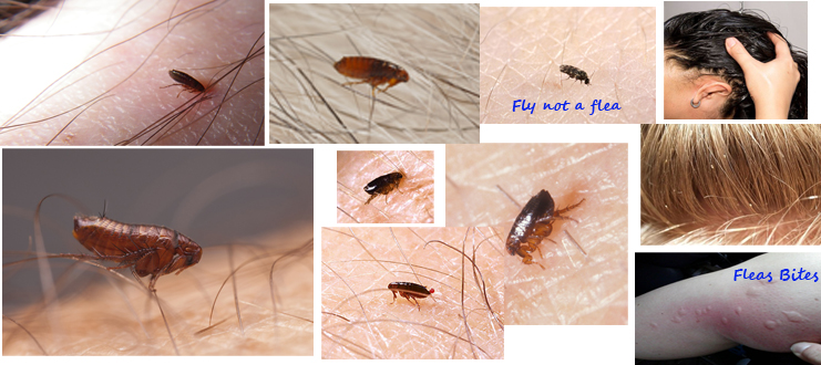 what do fleas look like what does a flea look like with pictures how to get rid of flea on. Black Bedroom Furniture Sets. Home Design Ideas