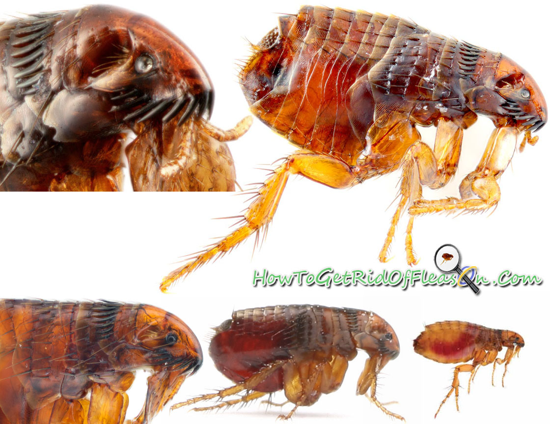 What Do Fleas Look Like What Does A Flea Look Like With